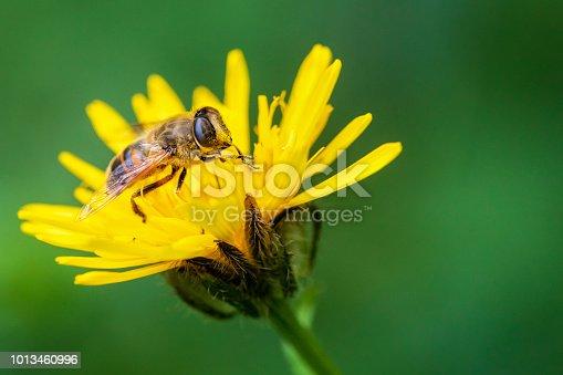 Bee, Flying, Animal, Honey, Honey Bee