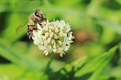 European bee or western honey bee pollinate white clover (Trifolium repens) flower on meadow. Honeybee has pollen basket or corbicula (part of the tibia on the hind legs) covered by pollen grains.