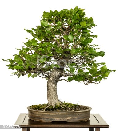 European beech (Fagus sylvatica) as bonsai tree