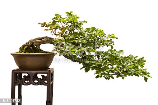 European beech (Fagus sylvatica) as bonsai tree shaped in a half cascade