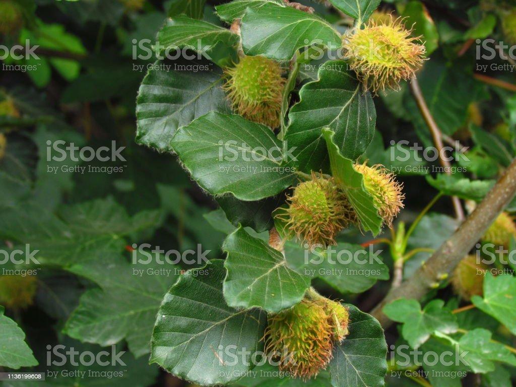 Beuk, gemeenschappelijke beuk, botanische naam Fagus sylvatica, bloesem van boom, foto