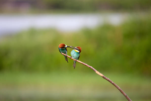 European Bee-eater courtship (Merops apiaster) - male with insect for female stock photo