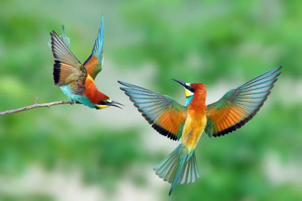 bijeneter (merops apiaster) in natuurlijke habitat - ornithologie stockfoto's en -beelden