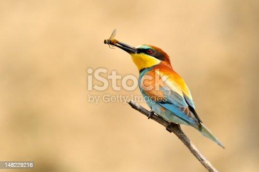 european bee-eater (Merops Apiaster) eating bug