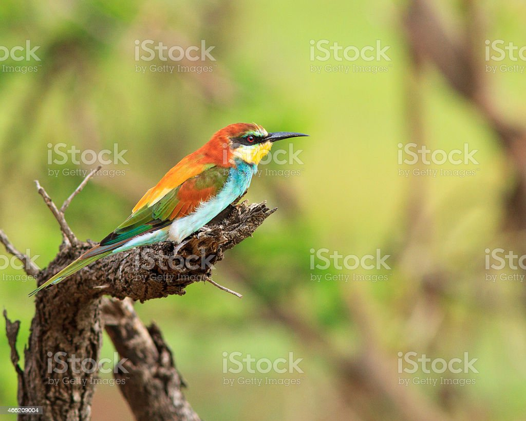 European Bee-eater perched on dead tree stock photo
