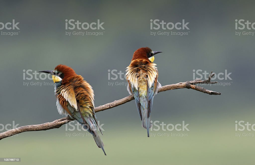European bee-eater stock photo
