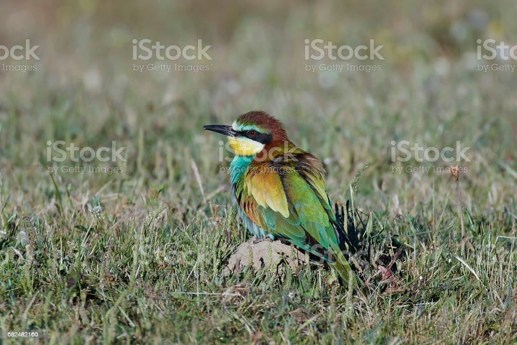 European bee-eater (Merops apiaster) royalty-free stock photo