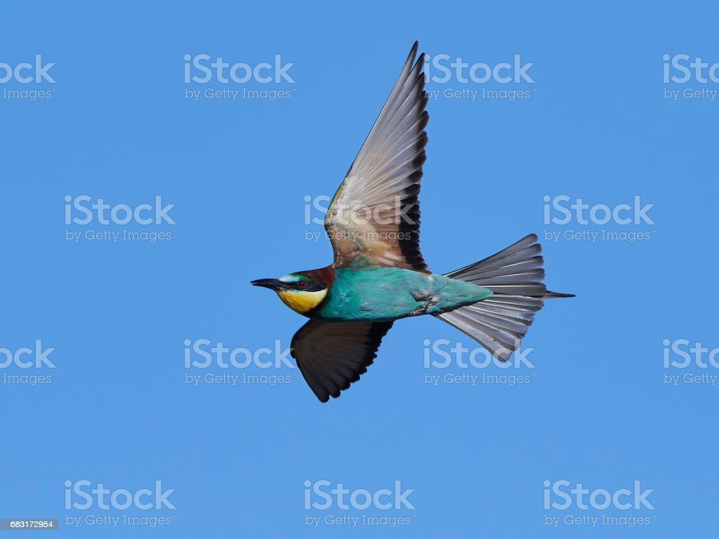 European bee-eater (Merops apiaster) royalty-free stock photo