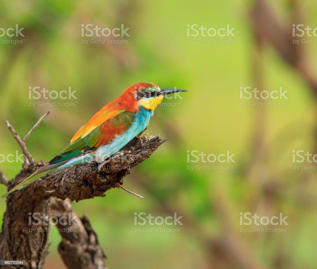 European bee-eater stock photo