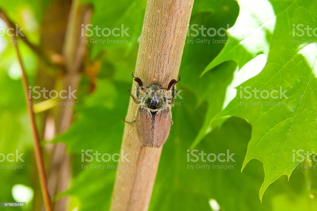 Europäische Käfer Schädling - gemeinsame Maikäfer auf Ahorn Ast. - Lizenzfrei Ahorn Stock-Foto