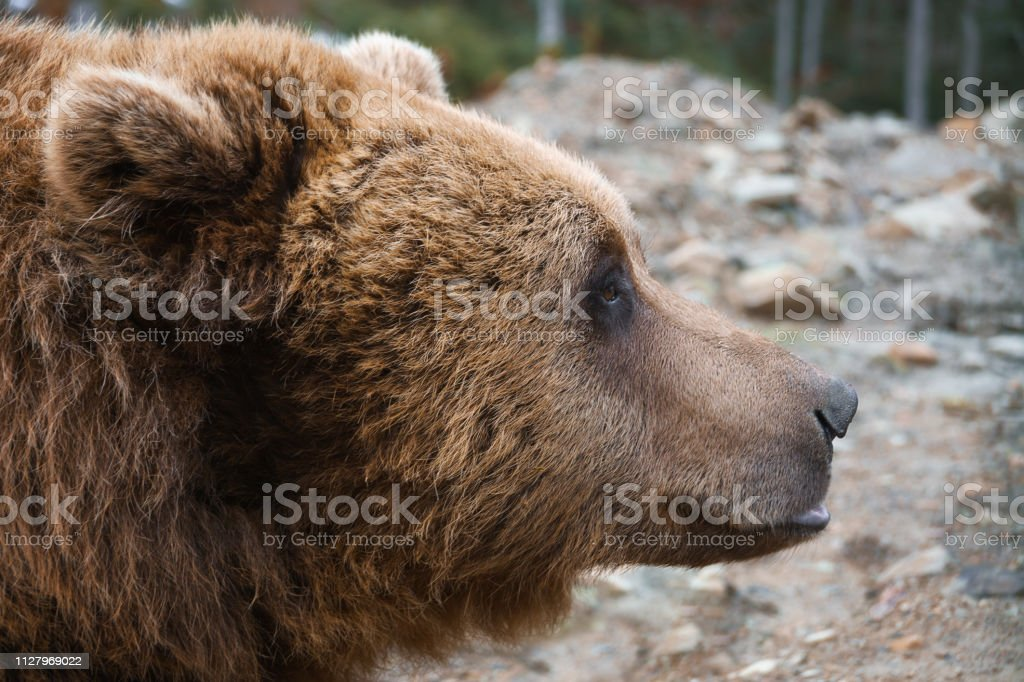 European big brown bear head portrait profile.