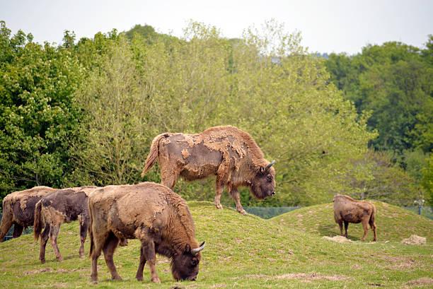 European Bison herd in fota wildlife park stock photo
