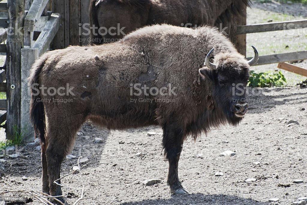 European bison in forest park royalty-free stock photo