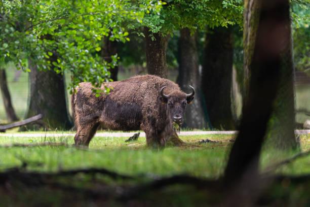 Europeisk bison i skogen bildbanksfoto