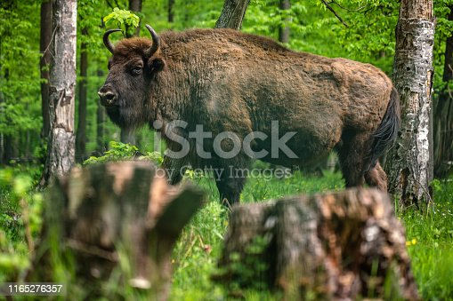 European bison in the nature reserve