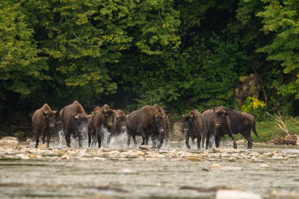 Europäischer Bison (Bison bonasus) im Fluss. – Foto