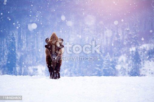 istock European bison in winter 1184634820