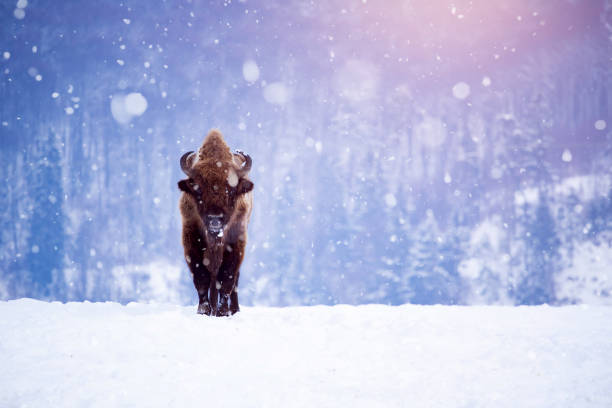 European bison in winter stock photo