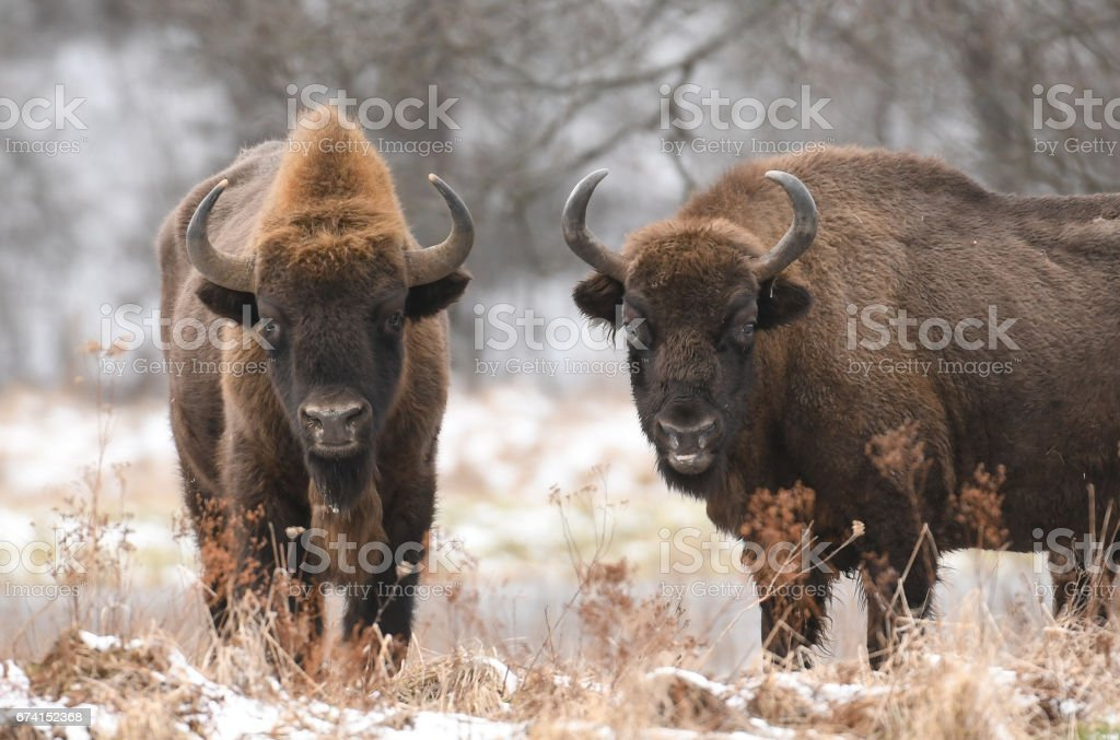 European bison - Photo