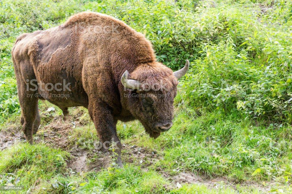 bison d'Europe - Photo