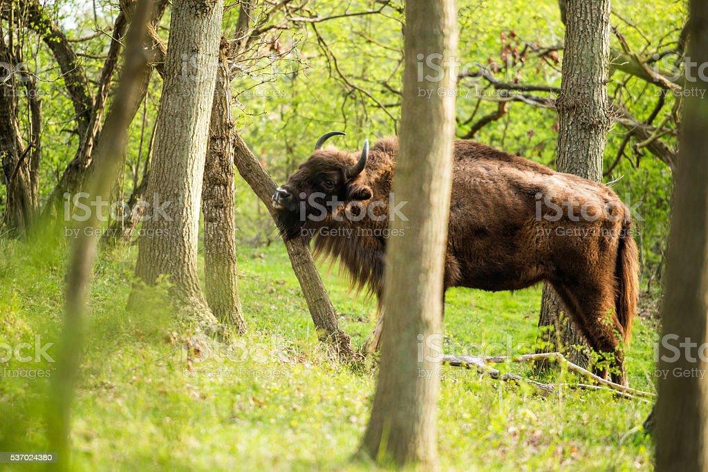 bison d'Europe s'égratigne menton sur tronc d'arbre - Photo