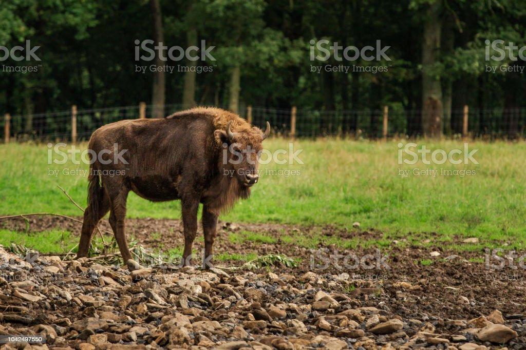 Commandes de bison d'Europe dans une prairie - Photo