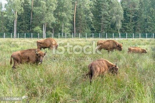 European bisons (iBison bonasus) n its natural habitat.