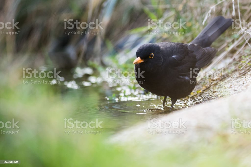 European black bird playing in a pool of water in the grass stock photo