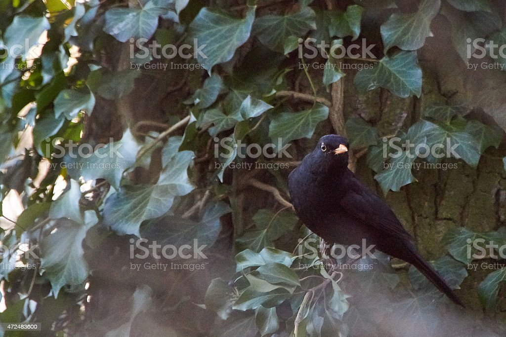 European blackbird looks attentive in forest stock photo