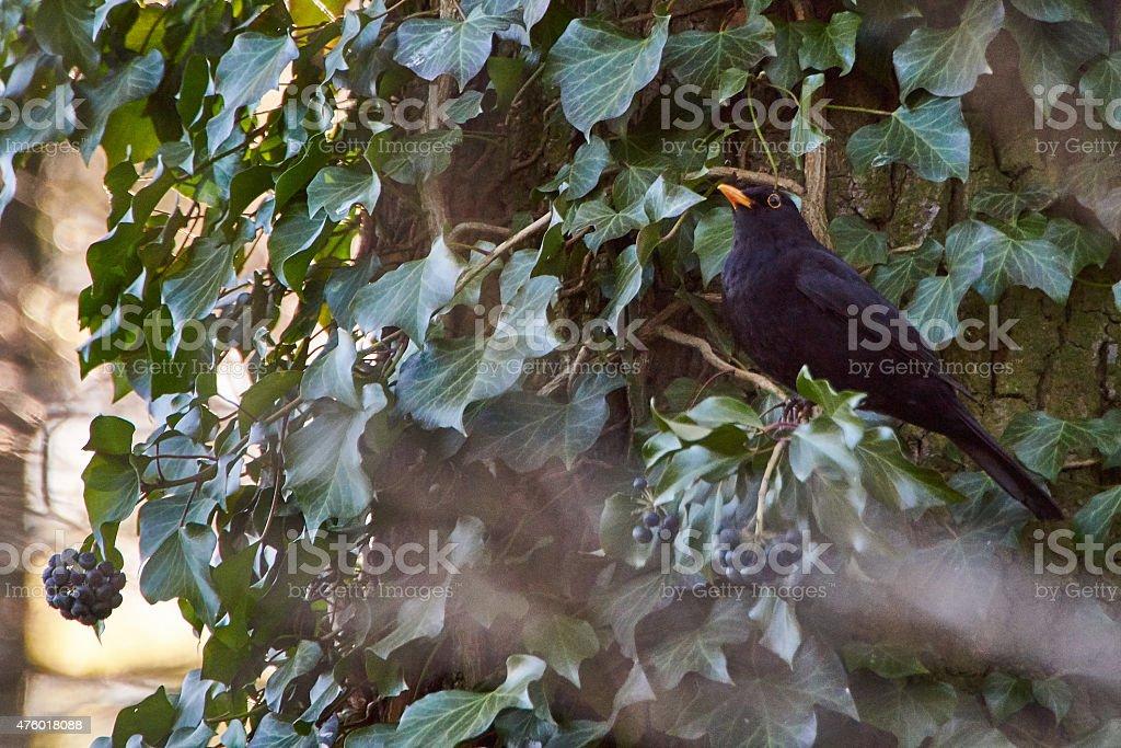 European blackbird with rowan berry in forest stock photo