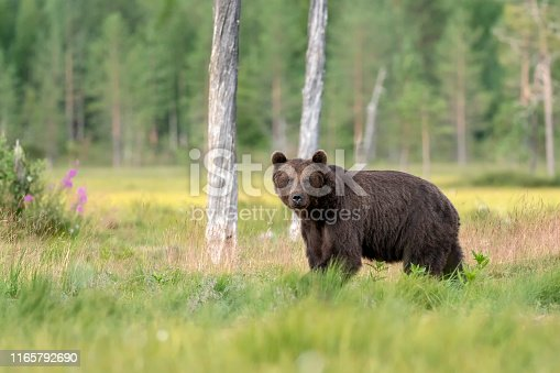 A European Brown Bear (Ursus arctos) in Finland