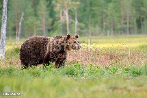A European Brown Bear (Ursus arctos) in Finland