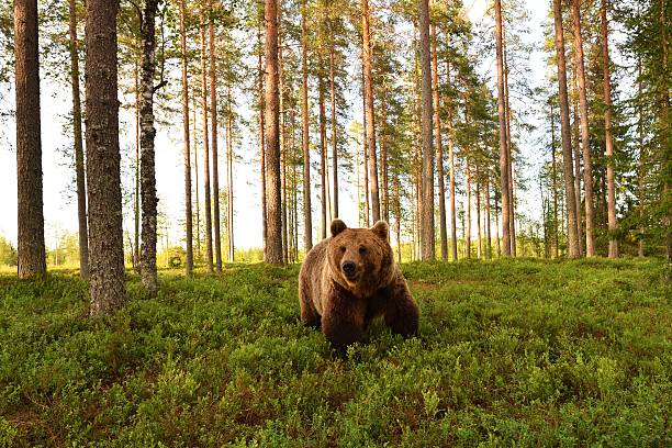 european brown bear in a forest scenery. brown bear in a forest landscape. - bears 個照片及圖片檔