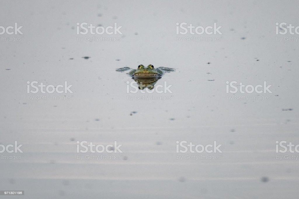 Europäische Brauner Frosch im Teich – Foto