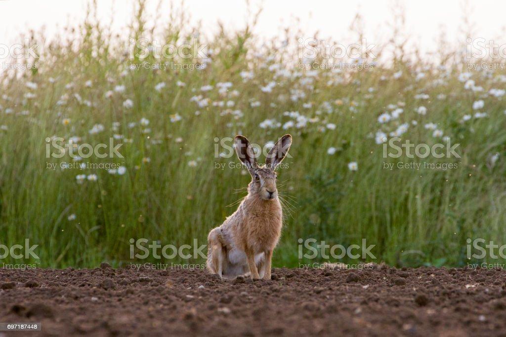 Lièvre brun d'Europe (Lepus europaeus) dans le champ labouré photo libre de droits