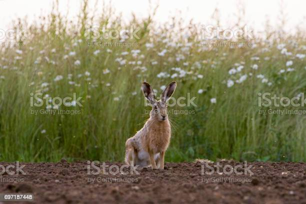European brown hare in ploughed field picture id697187448?b=1&k=6&m=697187448&s=612x612&h=hm i5glewhhdnji 6ugktvmr6 q6p013vl qlibzk 4=