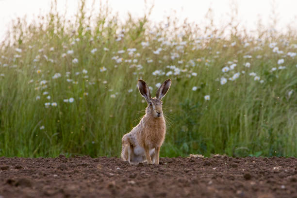 European Brown Hare (Lepus europaeus) in ploughed field stock photo
