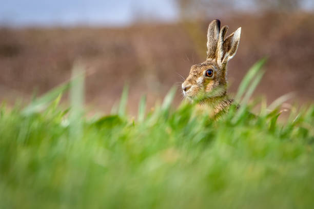 European Brown Hare (Lepus europaeus) in summer farmland setting stock photo