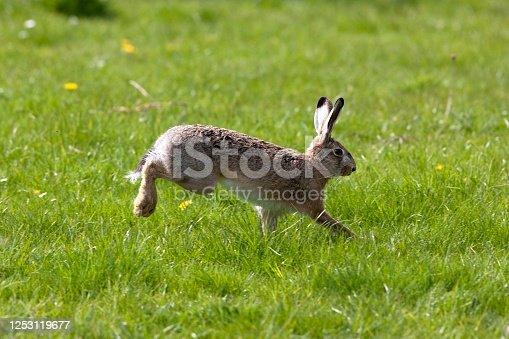 istock European Brown Hare, lepus europaeus, Adult running on Grass, Normandy 1253119677