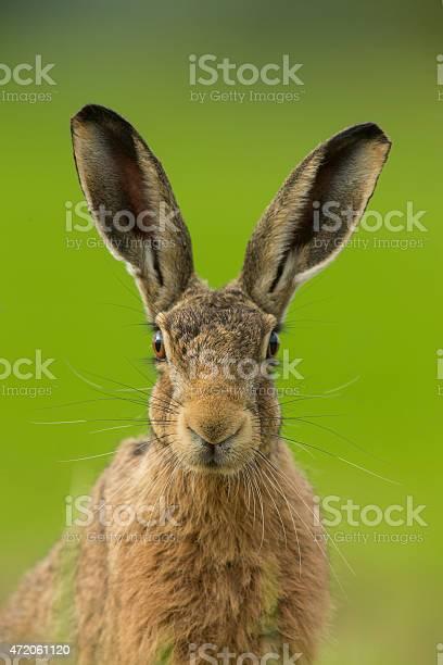 European brown hare lepus europaeus picture id472061120?b=1&k=6&m=472061120&s=612x612&h=q3arabpa kq2toj 2odd6ovfnra6m5otiwy4is0grpm=
