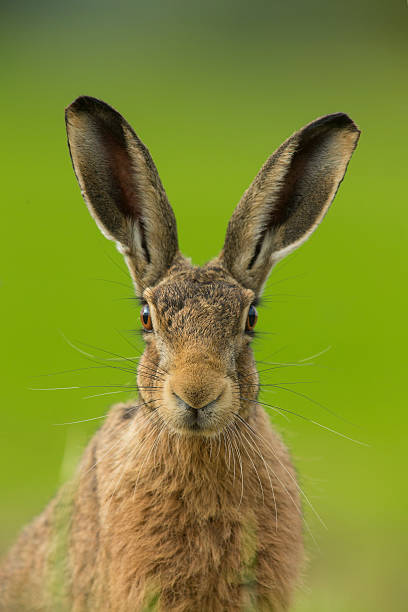 European brown hare - Lepus europaeus stock photo