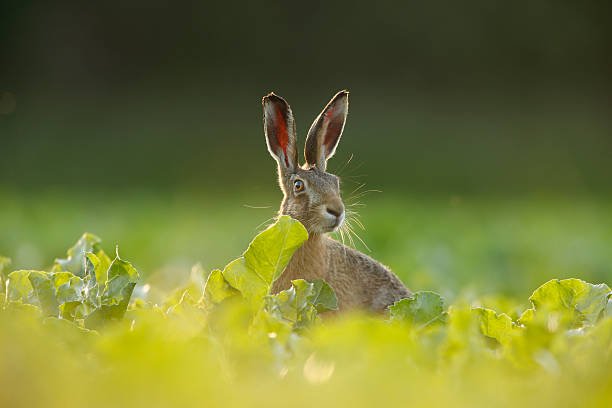 European brown hare - Lepus europaeus