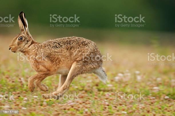 European brown hare picture id186117192?b=1&k=6&m=186117192&s=612x612&h=jsqlnc m8vlzsrqvpqgcoteo b  m5x8qjcts6in5ui=