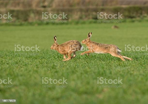 European brown hare picture id186179529?b=1&k=6&m=186179529&s=612x612&h=pxjwkegpcb90c1dxt6zmjrv3xtqjliayl7 aqtpwuai=
