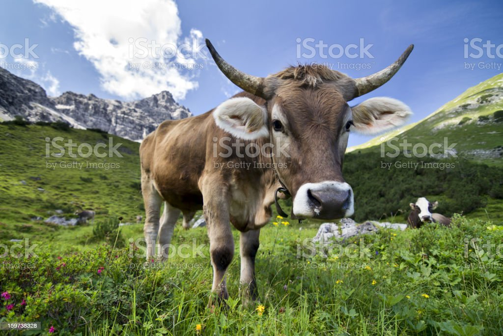 European bullock on pasture stock photo