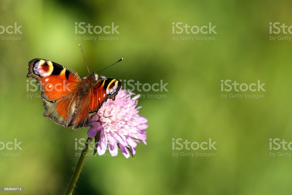 European butterflies: peacock butterfly stock photo