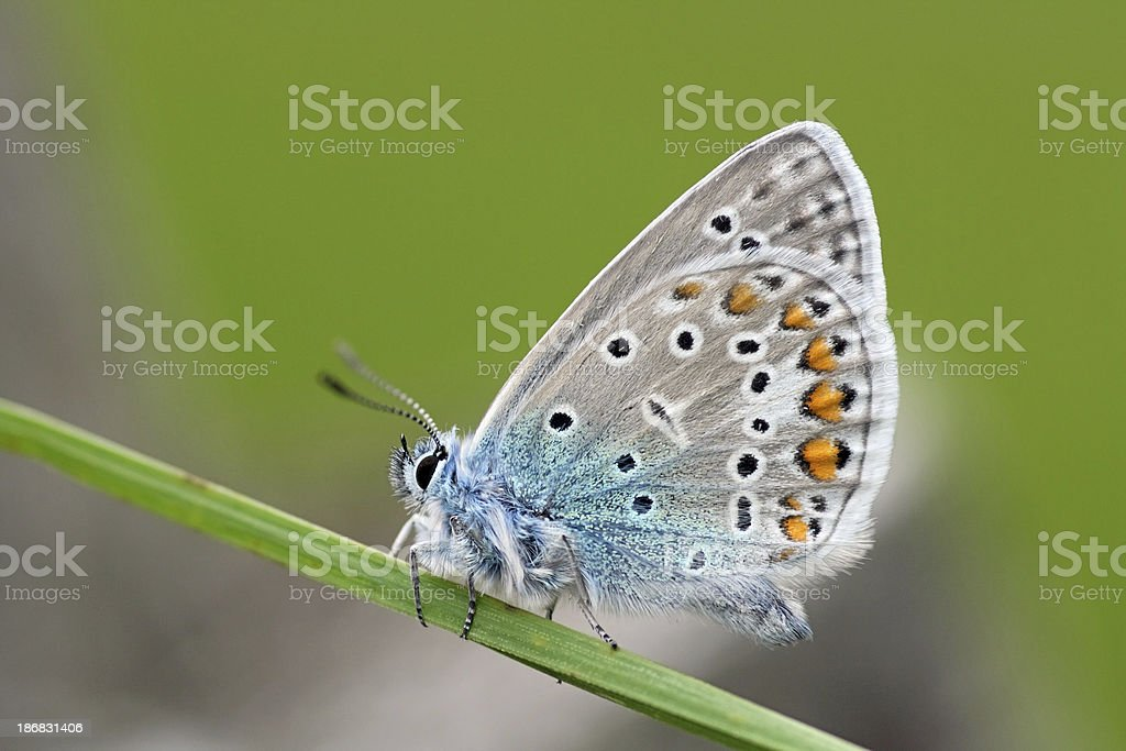 European butterfly: Variety of the family Lycaenidae stock photo