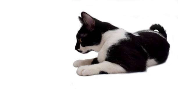 European cat picture id641603644?b=1&k=6&m=641603644&s=612x612&w=0&h=f9hvhohffvoblcddkwkgbznusihqzw4hv5tzjgkaog4=