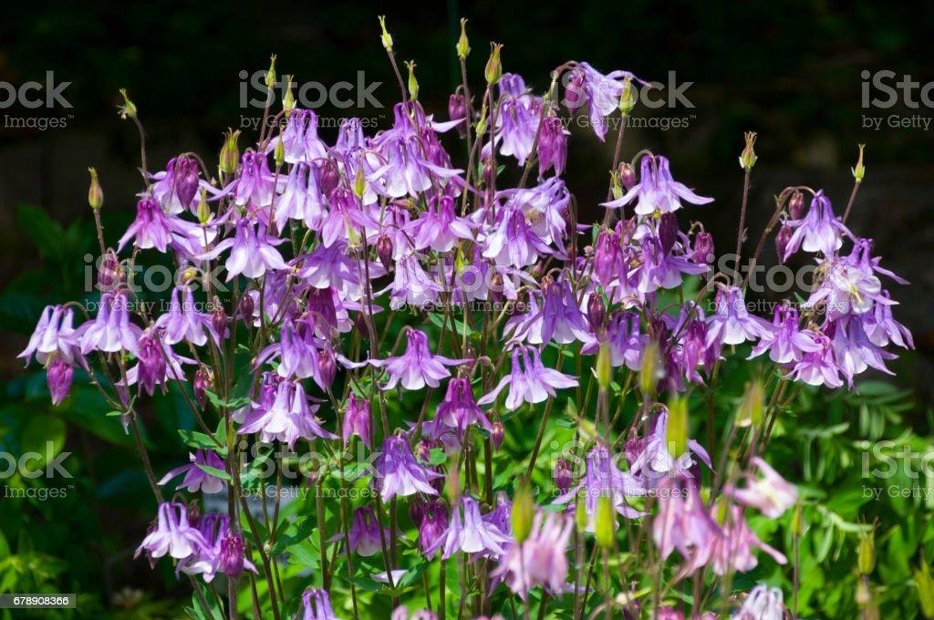 European Columbine (Aquilegia vulgaris L.)