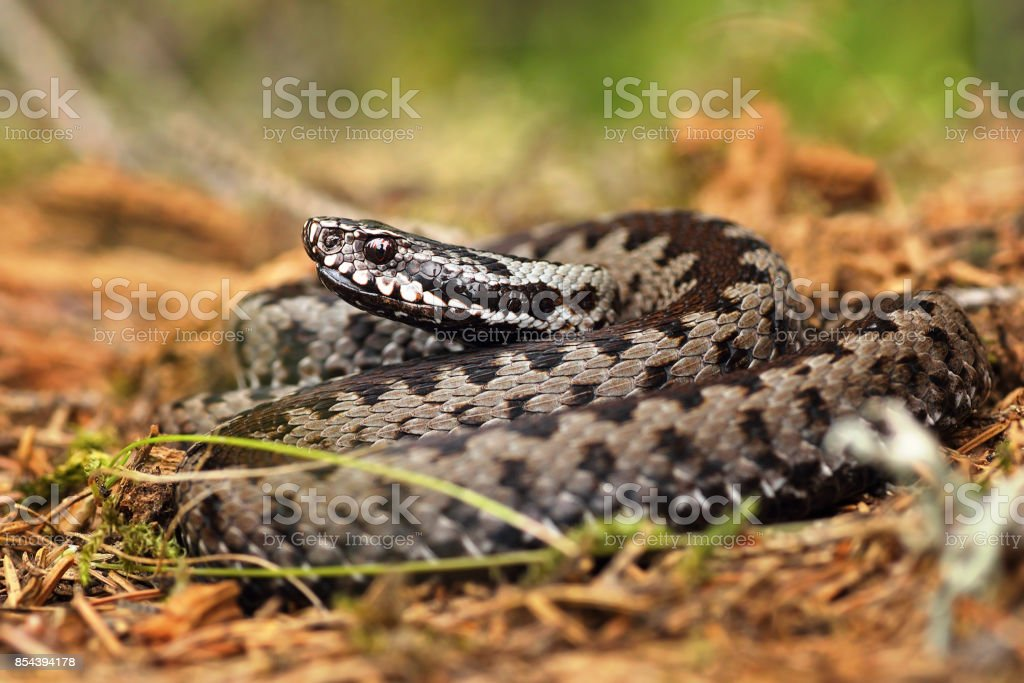 european common crossed viper standing on forest ground stock photo